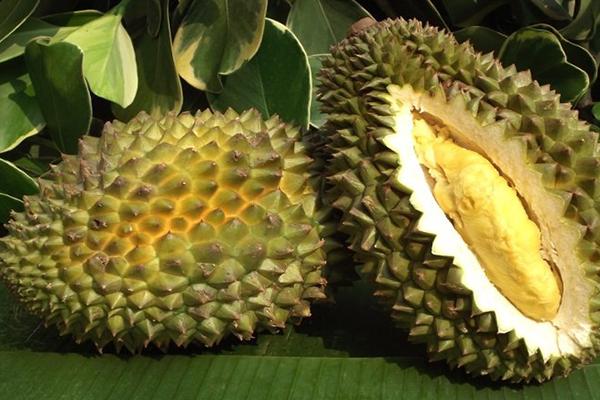 Jual Bibit Durian Musangking Harga Terjangkau
