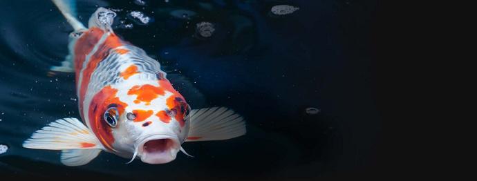 Harga Ikan Koi Semua Jenis
