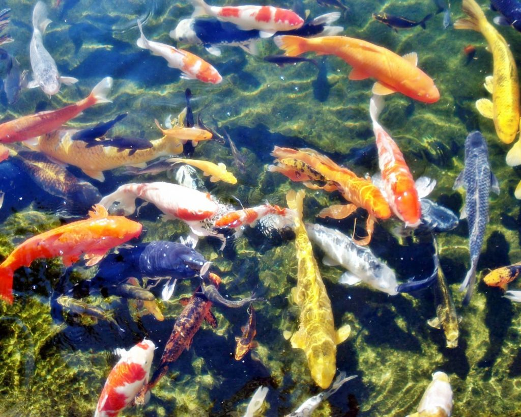 Bibit Ikan Koi Semua Jenis