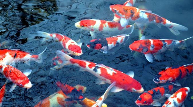 Info Update Harga Ikan Koi 2019