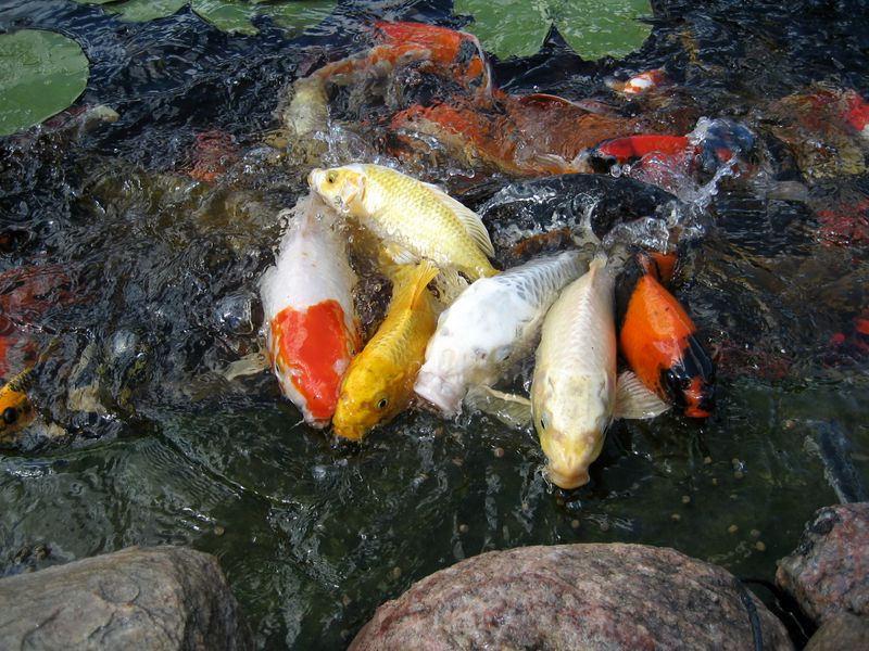Harga Ikan Koi Siap Kirim Seluruh Indonesia