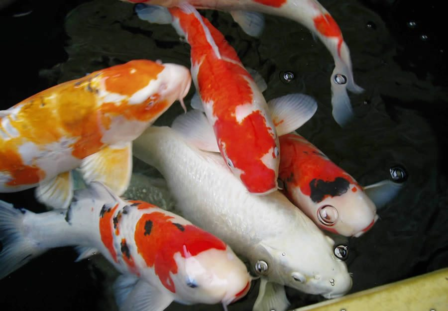 Ikan Koi Kualitas Unggul Harga Murah