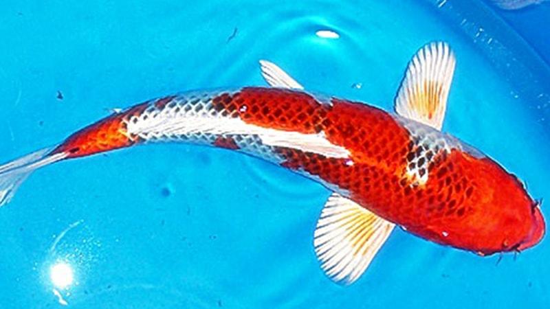 Tips Mengobati Ikan Koi Yang Terkena Busuk Mulut
