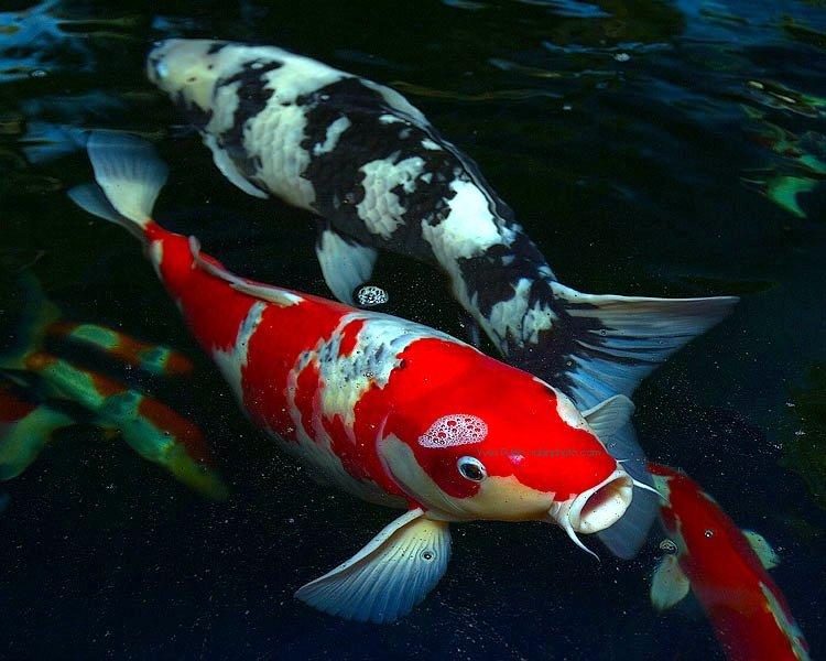 Penyakit Busuk Mulut Pada Ikan Koi
