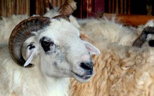 Beternak Kambing – Tips Kesehatan Untuk Membantu Anda Dalam Memelihara Kambing dengan Sukses